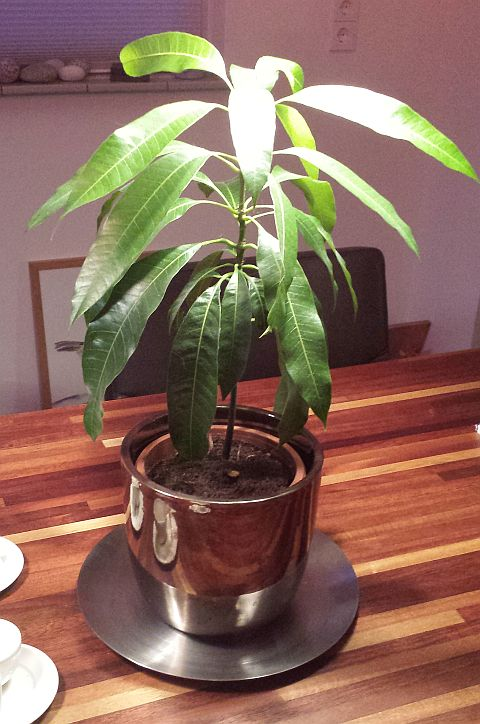 Bonusfoto! Dit is de mangoboom die ik in maart 2014 zaaide. (excuseer de slechte belichting)