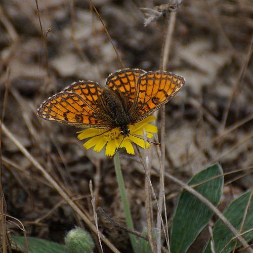 een keizersmantel of een Argusvlinder? Ik ben niet zo goed in vlinders