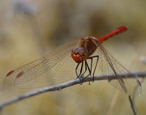 een rode libelle