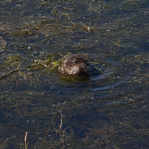In Nederland wordt hij bestreden, maar hier zag ik een stel muskusratten rond zwemmen.