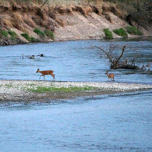 Twee reeën,. moeder en kind, staken 's avonds de rivier over.